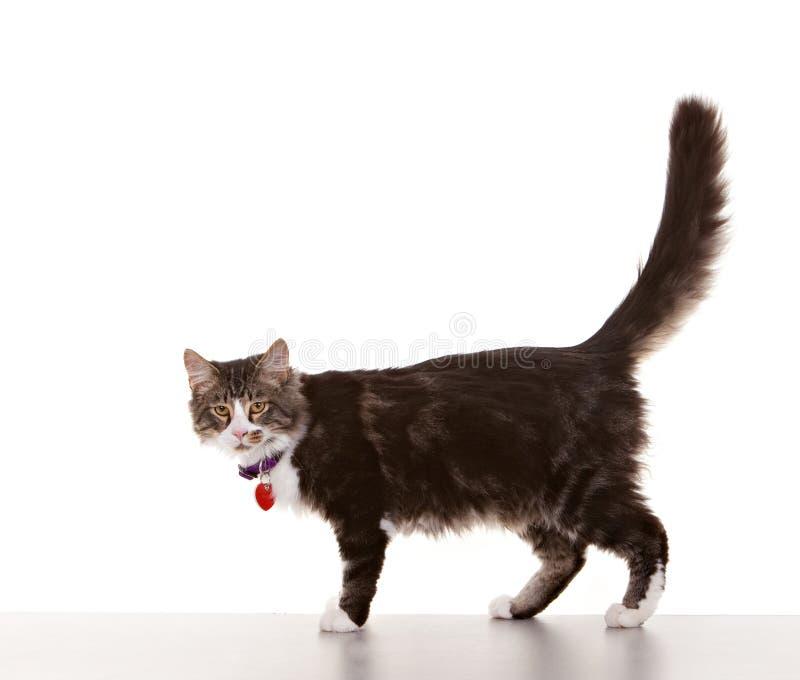 Взрослый кот стоковые фотографии rf