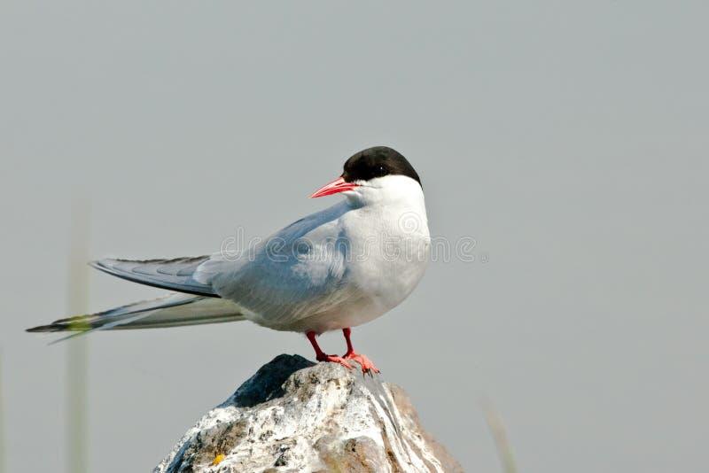 взрослый ледовитый tern стоковое изображение