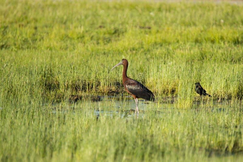 Взрослый лоснистый Ibis и, который Красно-подогнали кукушка в Mudflat стоковое изображение rf
