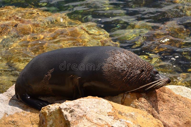 Взрослый морской лев на утесе, жизни побережья Новой Зеландии стоковое фото rf