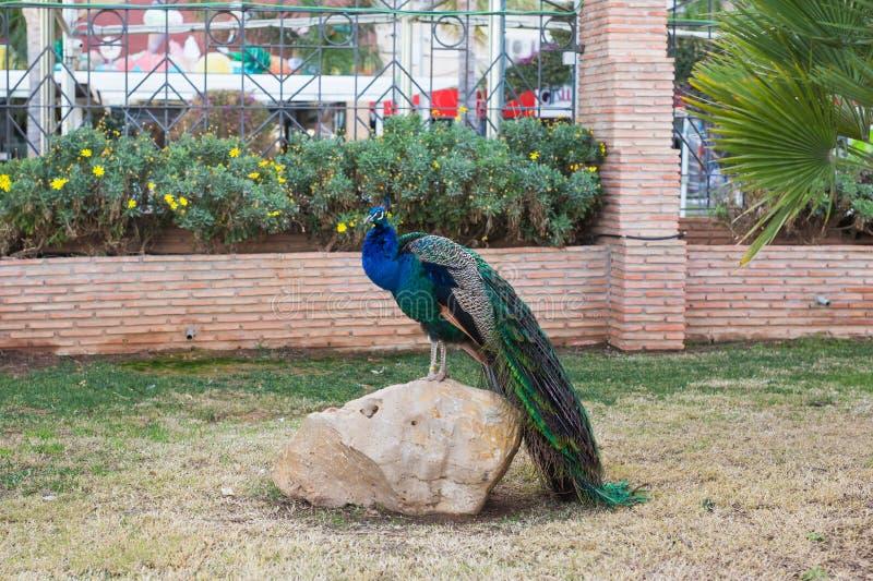 Взрослый мужской павлин с красочными и живыми пер, ярким голубым телом и зеленым неоновым покрашенным кабелем закрыл стоковые фотографии rf