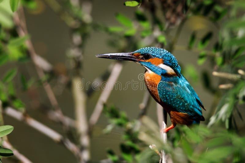 Взрослый мужчина общих atthis Alcedo kingfisher также известных как евроазиатский kingfisher садился на насест на ветви стоковая фотография rf