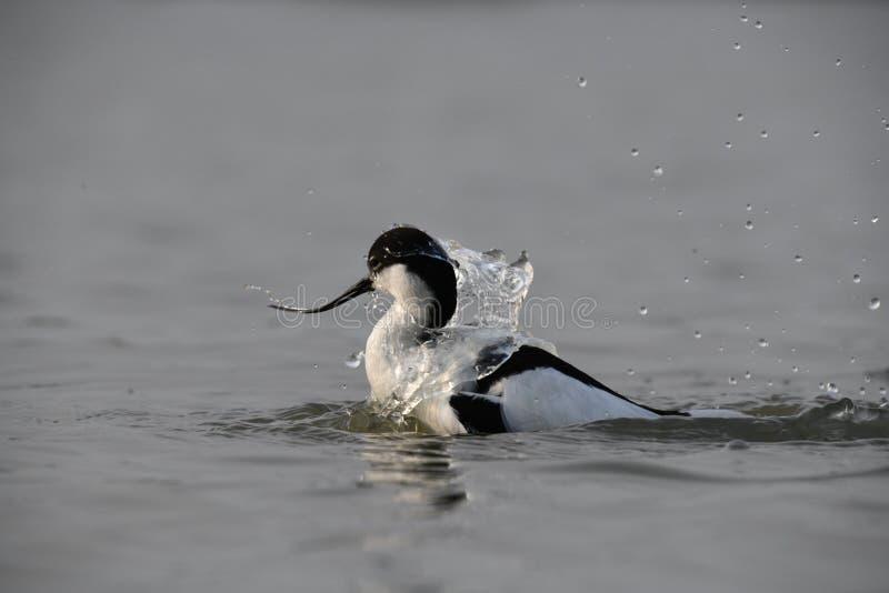 Взрослый пестрый avocet принимает славную ванну в воде стоковое изображение rf