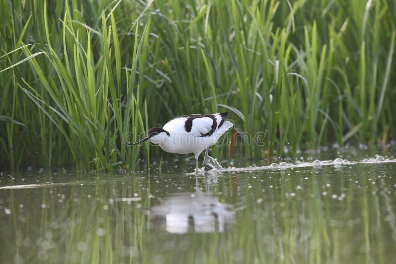 Взрослый пестрый avocet просыпает в воде гоня маленькую утку стоковые изображения