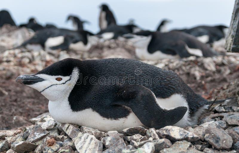Взрослый пингвин Chinstrap лежа на гнезде, острове полумесяца, антартическом полуострове стоковые фотографии rf