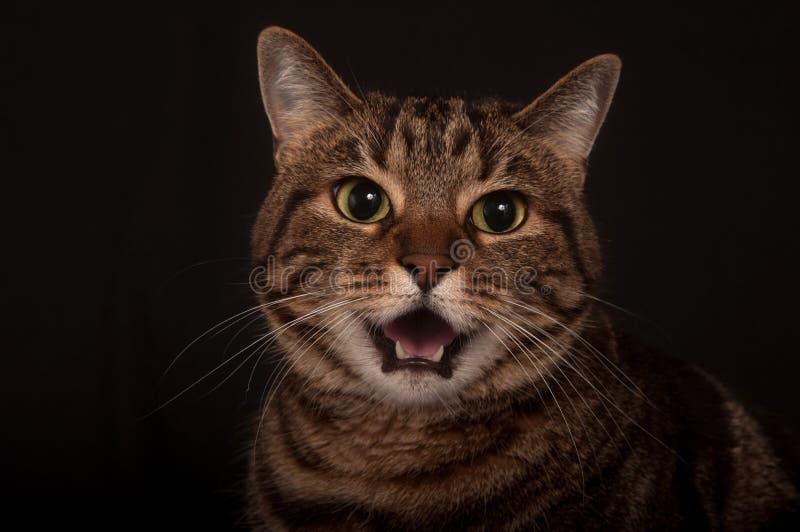 взрослый сердитый tabby кота стоковое фото rf