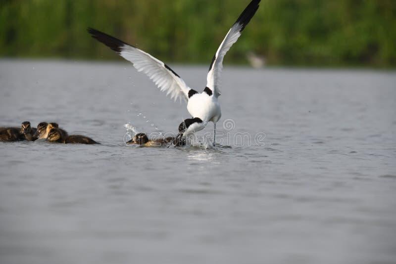 Взрослый avocet атакует маленьких уток для того чтобы защитить его собственное jung стоковое фото