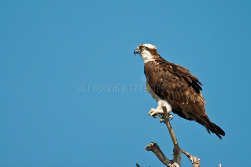 Взрослый Osprey стоковая фотография