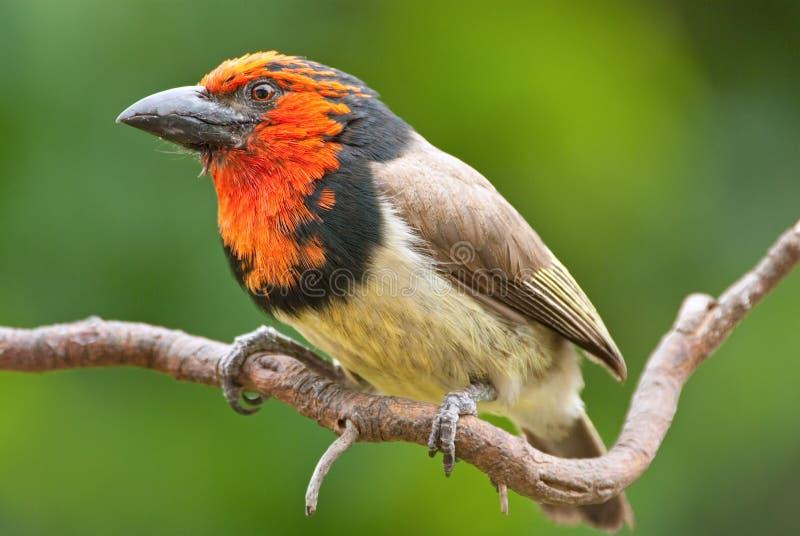 взрослым красный цвет collared barbet мыжской стоковое изображение