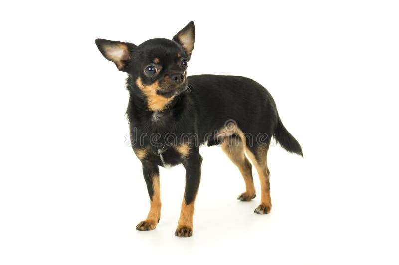 Download Взрослое изолированное положение собаки чихуахуа Стоковое Фото - изображение насчитывающей смешно, мило: 37928530
