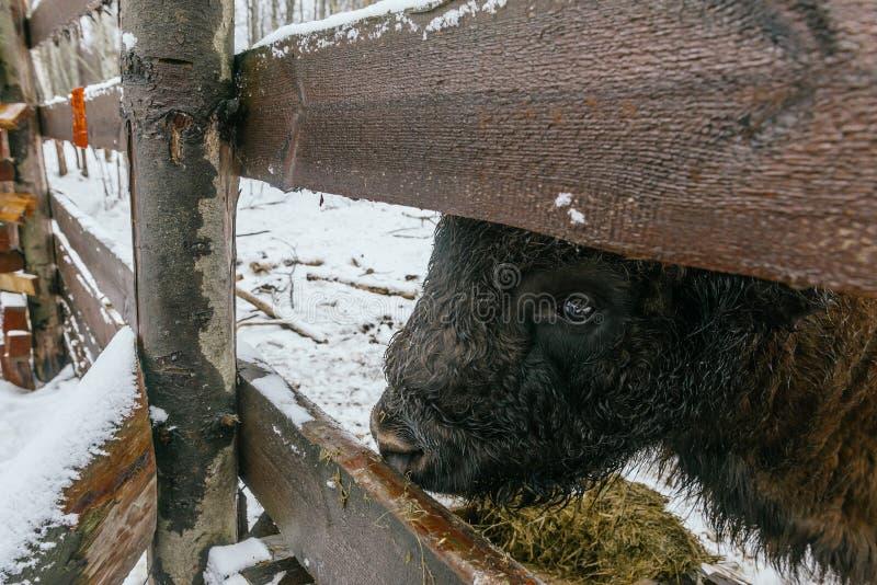 Взрослый европейский бизон в национальном парке есть травы стоковые изображения