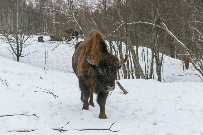Взрослый европейский бизон в национальном парке стоковое фото rf