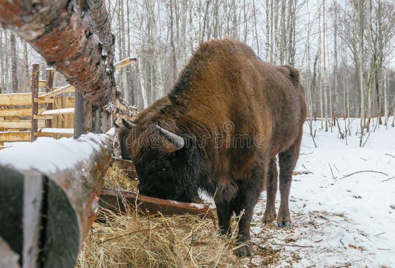 Взрослый европейский бизон ест травы велюров стоковая фотография rf