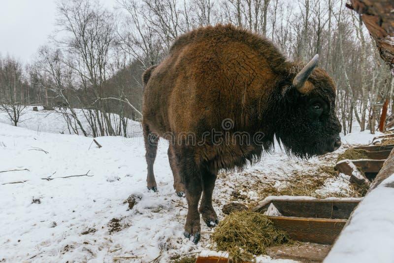 Взрослый европейский бизон ест травы велюров стоковое фото