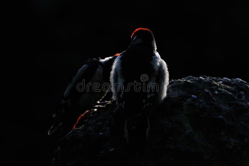 Взрослый и молодые большие запятнанные Woodpeckers рано утром стоковая фотография rf