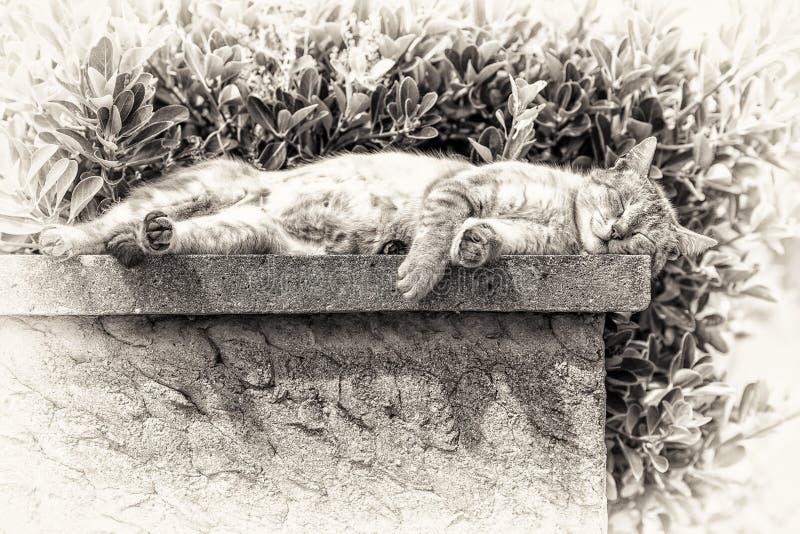 Взрослый кот tabby спать с загорать на низкой стене стоковое изображение rf