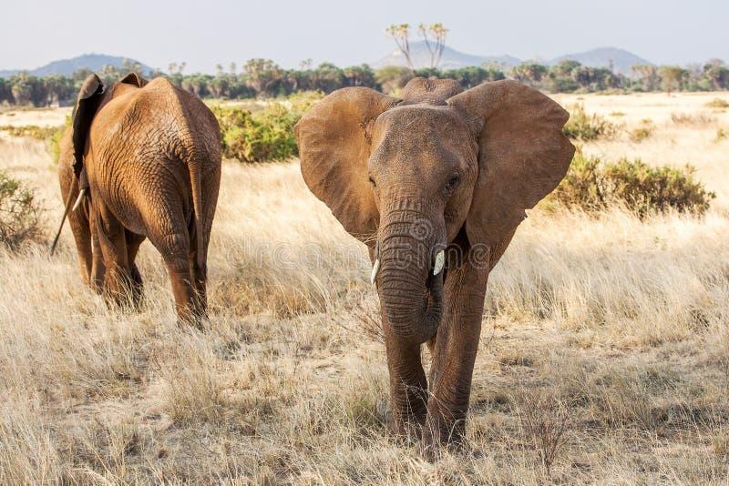 Взрослый пасти африканского слона занятый в кусте стоковое фото rf