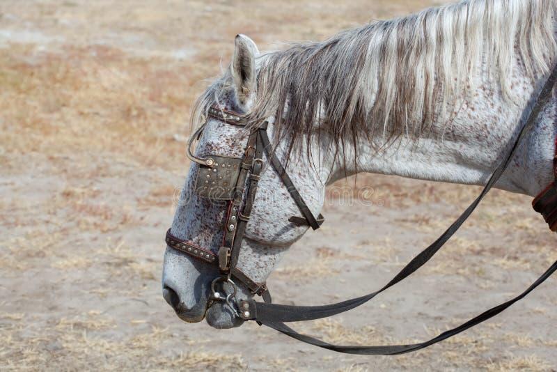 Взрослый, серый жеребец костюма идя на ранчо выгона стоковое фото
