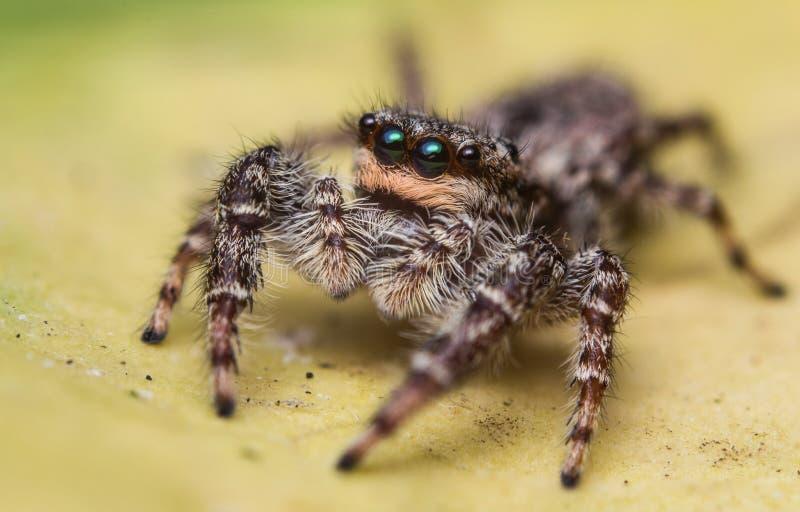 Взрослый скача паук стоковое фото
