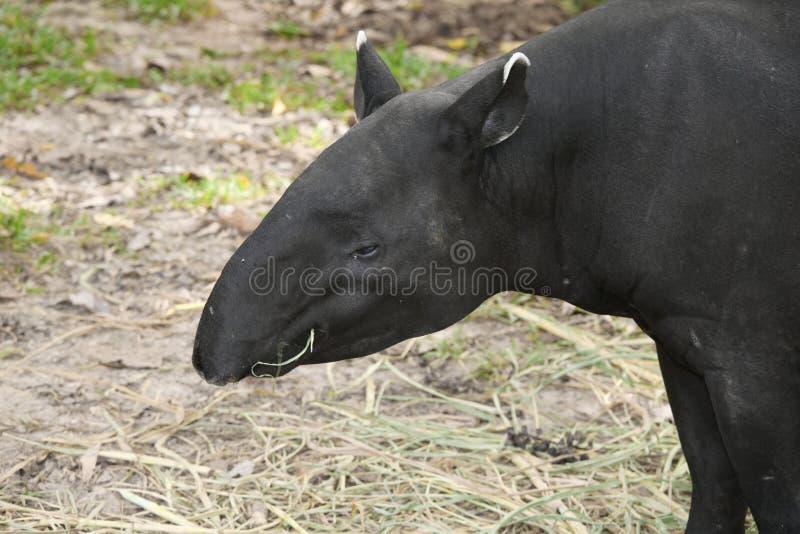 Взрослый malayan тапир (indicus tapirus) стоковые изображения