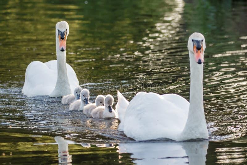 Взрослый olor Cygnus безгласного лебедя и милые пушистые молодые лебеди младенца стоковые изображения