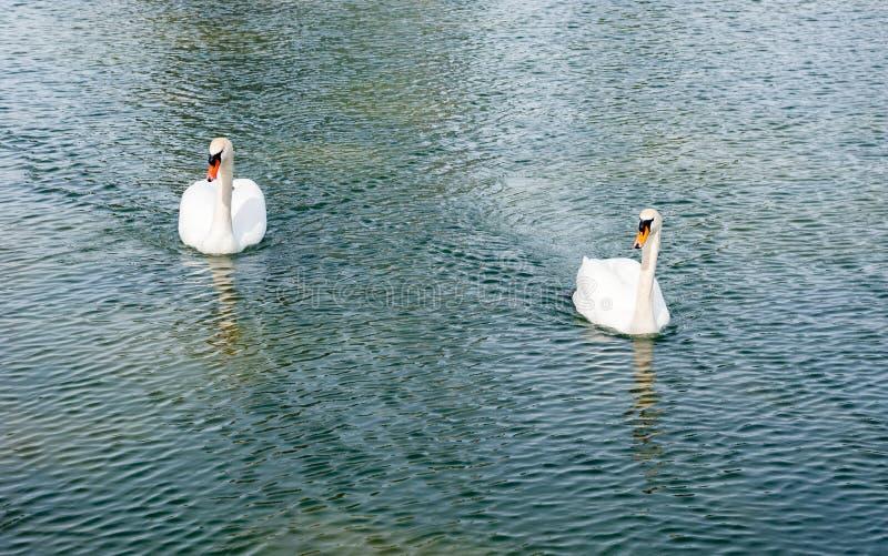 2 взрослых безгласных лебедя причаливая на воде стоковое изображение