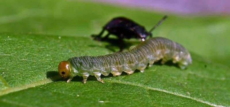Взятые на острие нимфы bidens Picromerus shieldbug на заднем плане, принимают личинку стоковые изображения