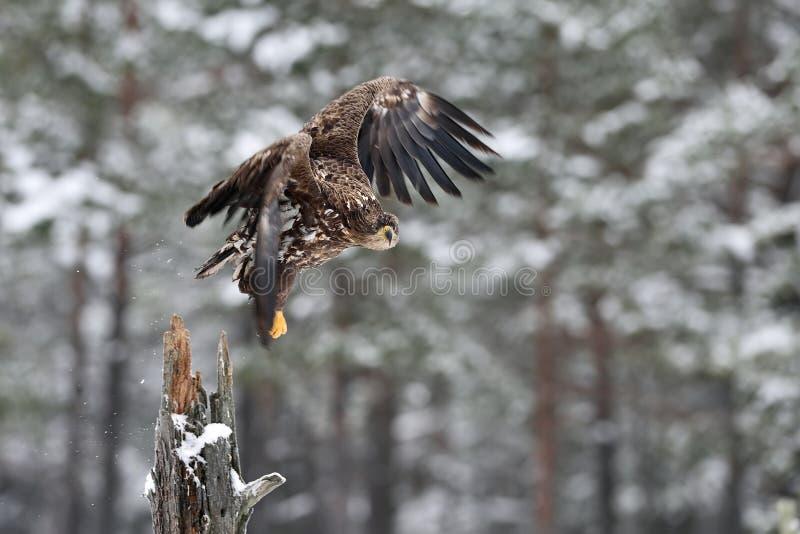 Взлет орла Бело-замкнутый взлет орла в зиме стоковая фотография rf