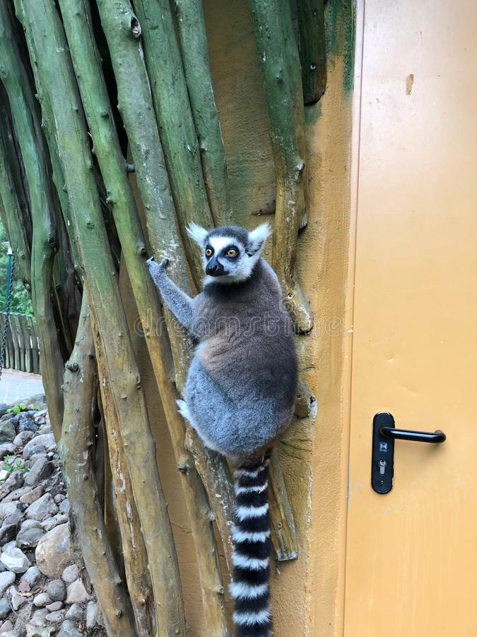 Виды лемура на внешней стене здания и взглядов зоопарка вокруг стоковые фотографии rf