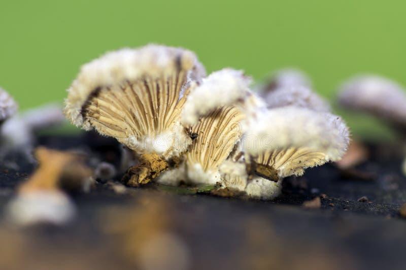 Вид коммуны Schizophyllum gilled грибка стоковое изображение rf