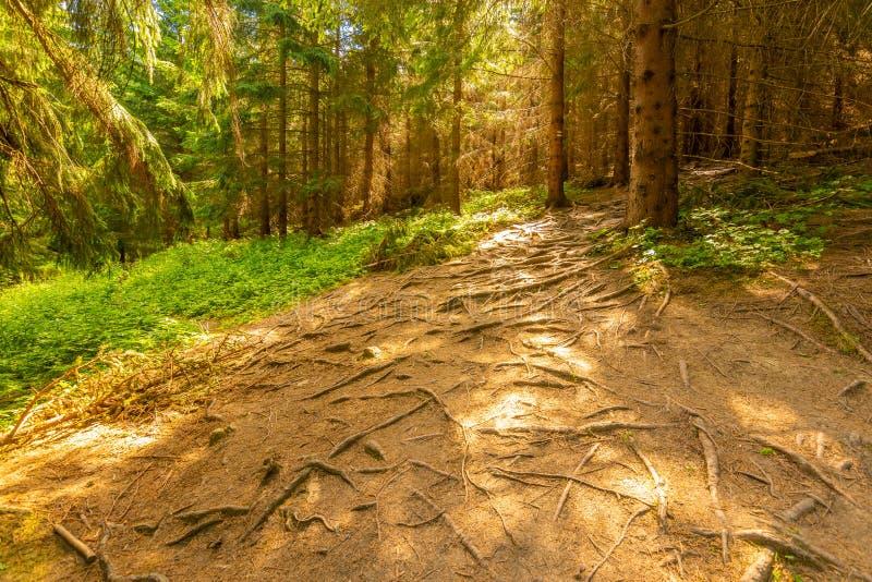 Вид корней деревьев в лесном волшебном свете, летний день Спокойствие в чистом лесу стоковые фото