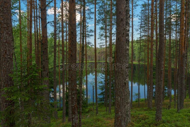 Вид на озеро через деревья глубокого coniferous леса стоковое изображение rf