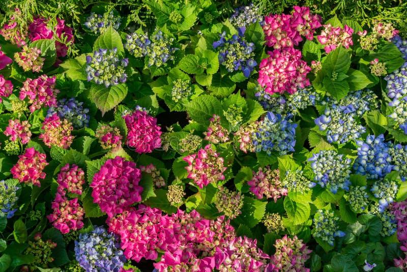 Вид сверху розового и голубого цветка-гидрангеи. Естественный цвеÑ'Ð¾Ñ‡Ð½Ñ стоковое фото rf