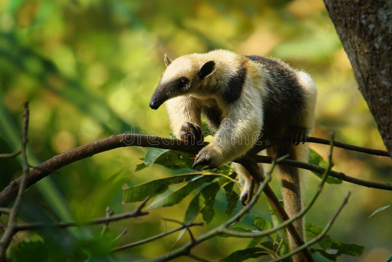 Вид северного mexicana Tamandua - Tamandua лесов муравьед, тропических и субтропических стоковая фотография rf