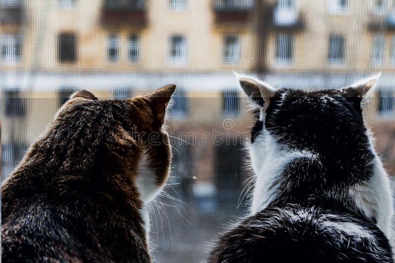 Вид сзади 2 взрослых молодых котов черно-белых и tabby сидят совместно на windowsill и смотрят через стоковые изображения rf