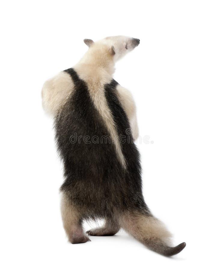 вид сзади collared anteater стоковые изображения rf