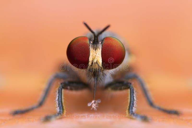 Вид спереди весьма увеличиванной мухы разбойника деталей есть добычу в предпосылке лист природы желтой стоковое фото rf