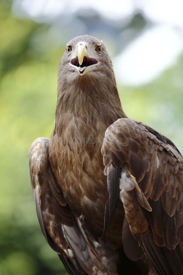 Вид спереди орла стоковое изображение rf