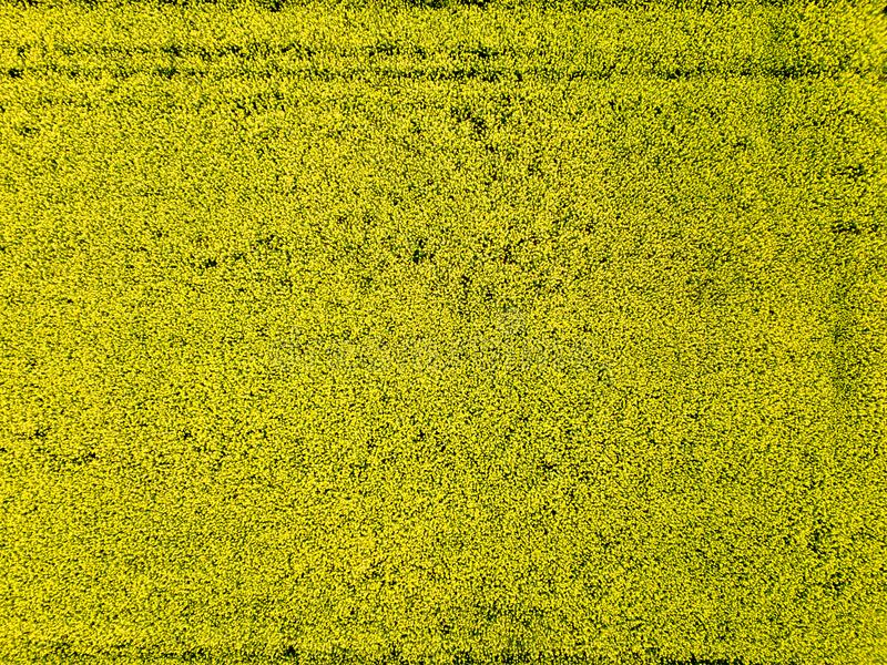 Вид с воздуха желтого поля рапса весенний день стоковая фотография rf