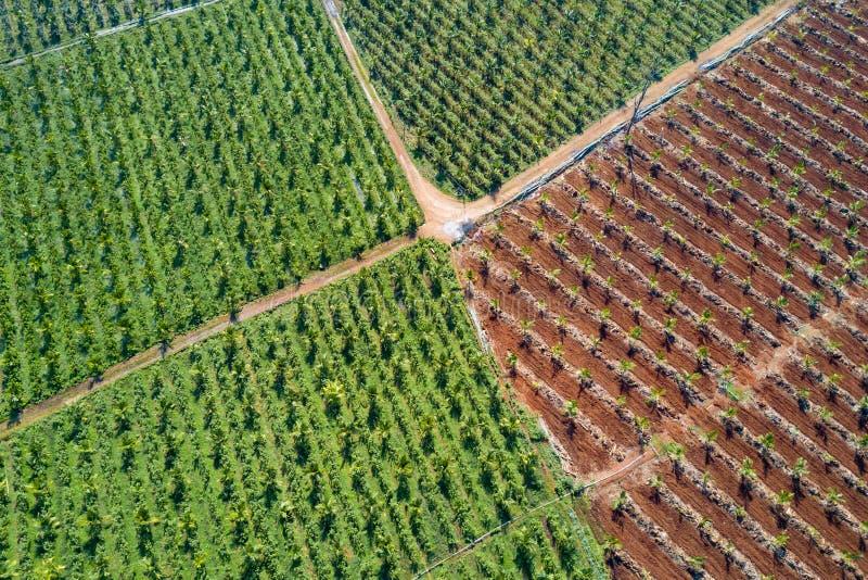 Вид с воздуха молодой плантации кокосовой пальмы стоковые изображения