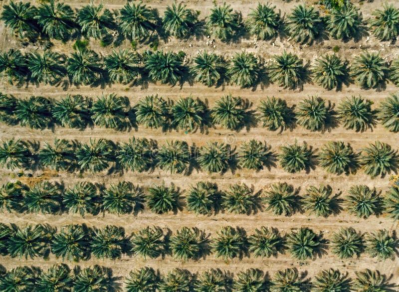 Вид с воздуха на плантации предпосылки пальм Строки засаженных ладоней где-то в сельскохозяйственных работах Ближнего Востока r стоковая фотография rf