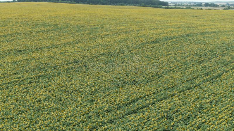 ВИД С ВОЗДУХА: Полет над красивым полем солнцецвета стоковое фото rf