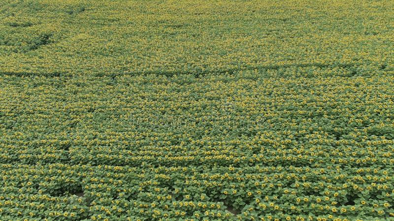 ВИД С ВОЗДУХА: Полет над красивым полем солнцецвета стоковые фото
