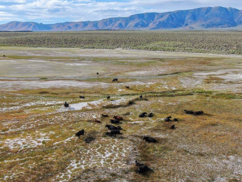 Вид с воздуха скотин коров пася на выгоне горы стоковые изображения