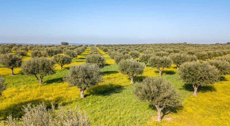 Вид с воздуха трутня оливковой рощи в Alentejo Португалии стоковое изображение rf