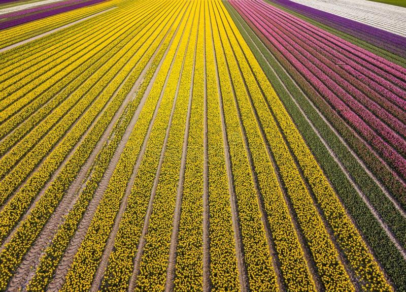 Вид с воздуха striped и красочного поля в муниципалитете Noordoostpolder, Флеволанда тюльпана стоковые изображения