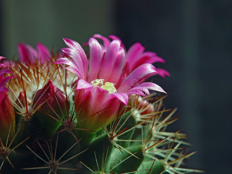 вид mammillaria цветка кактуса стоковые фото
