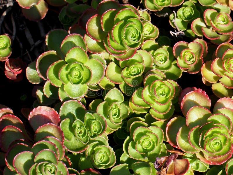 Вид Sedum растя в Rockery летом стоковая фотография rf