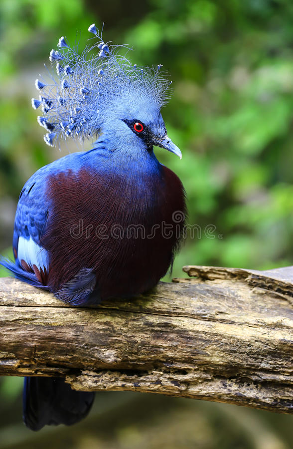 Виктория увенчало голубя стоковое изображение