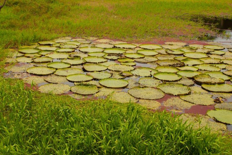 Виктория Regia, листья мира самые большие, амазонских лилий воды Amazonas, Бразилия стоковое изображение rf